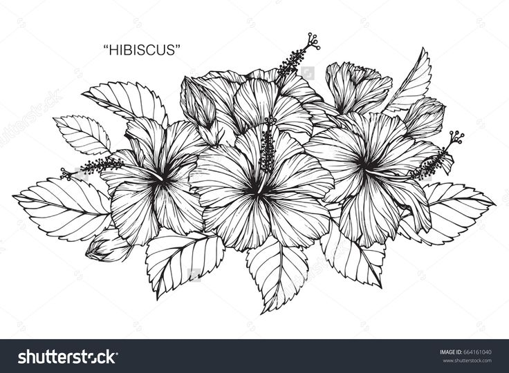 Hibiscus Flower Line Drawing : Best ideas about hibiscus flower drawing on pinterest