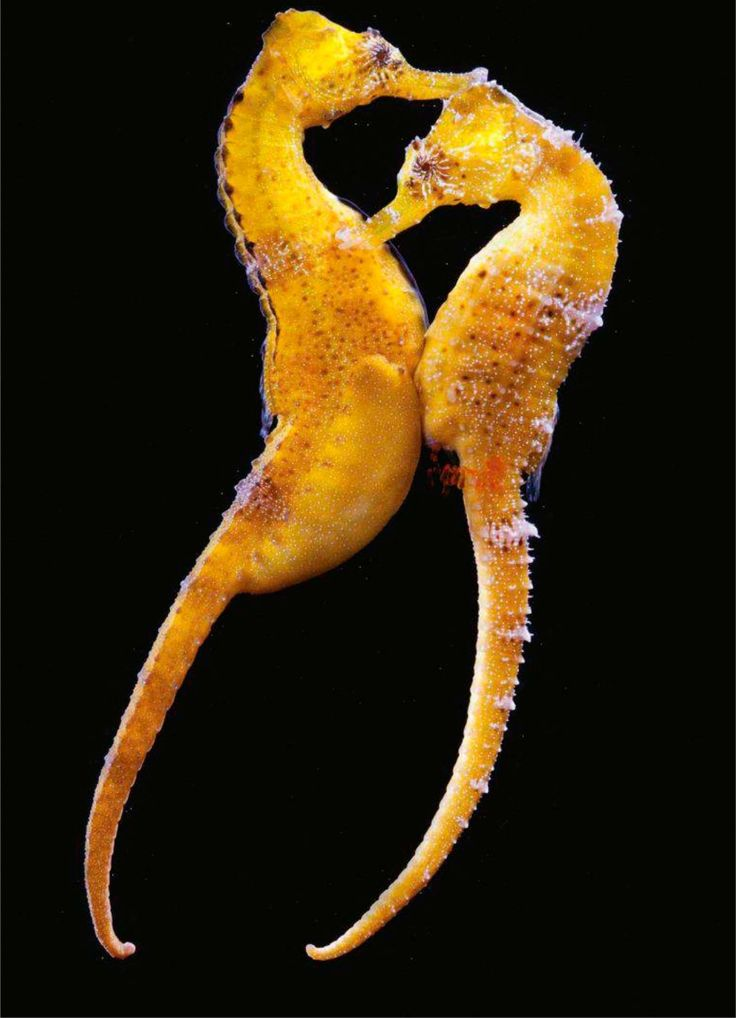 30 best images about seahorses and fish on pinterest for Is a seahorse a fish
