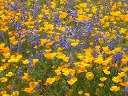 Wüstenblumen Teppich in der Namibwüste