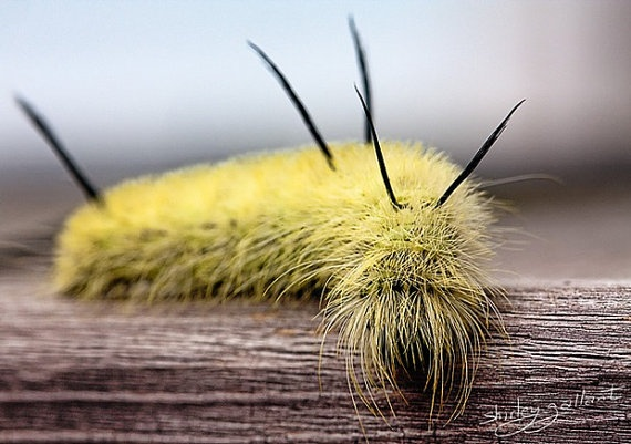 How cool would this look in your sun room. This is Harry the wooly caterpillar. Harry had his hair done just for you.