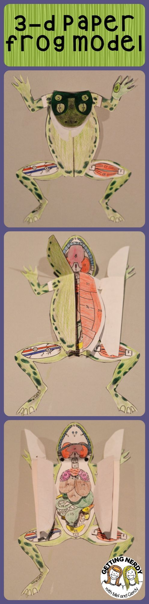 A 3-d paper grass frog model is perfect for secondary students. Use it for dissection preparation and/or anatomy studies.