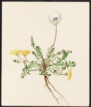 From the collection at Andersen Horticultural Library. Agnes Williams (1860-1946), a watercolorist from Bucks Co., PA, created a wildflower portfolio during the 1880s and 1890s. Emma painted Taraxacum Dens-leonis (Dandelion) in New Hope, PA. It is dated May 10, 1886.