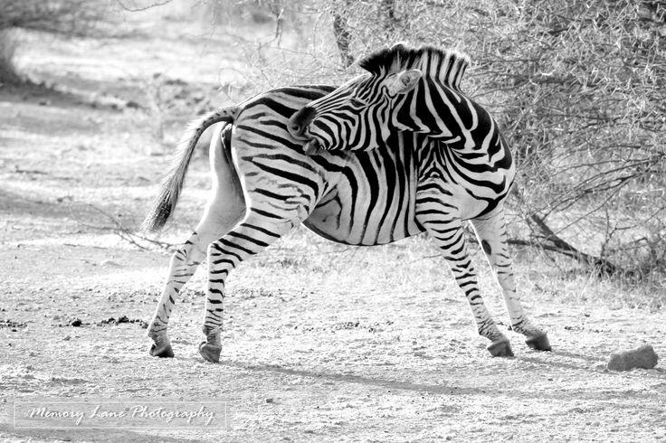 Wildlife photography - Zebra at Pilanesberg National Park (copyright)