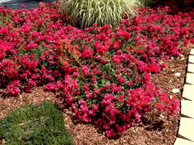 Image result for arid ground cover