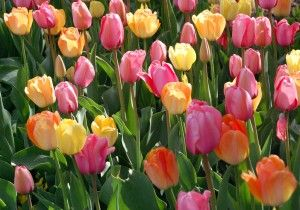 tulips-in-bloom