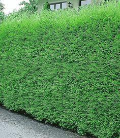 Schnellwachsende Hecke Sichtschutz Leyland-Zypressen-Hecke