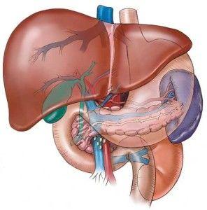 #Ficat vena porta #artera #hepatica