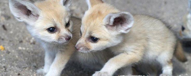 Cuccioli di volpe appena nati nel cassonetto