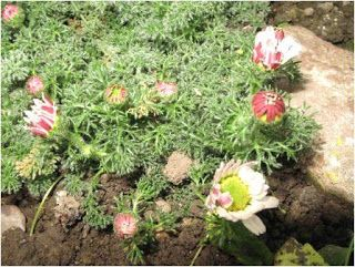 les plantes médicinales du Sahara: Pyrèthre d'Afrique et ses bienfaits… « 3oud el 3at...