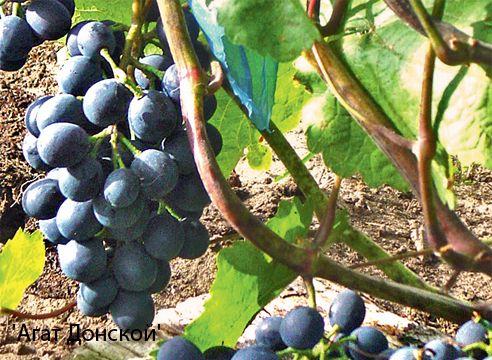Виноград для средней полосы - сорт Агат донской