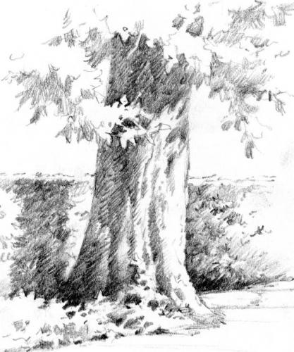 Sketch Of Tree On Temple Square Pencil Drawing Salt Lake City Utah