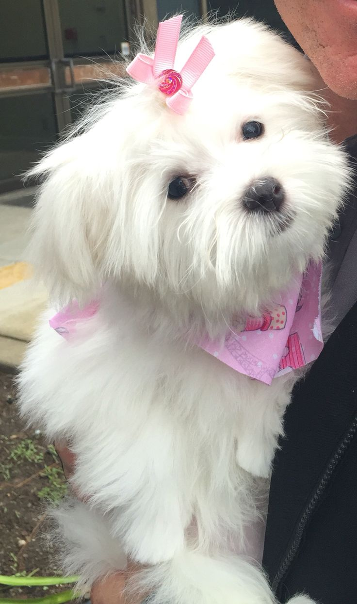 Penny Lane the cutest Maltese puppy dog ever!
