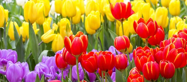 Afghanistan Is A Country Situated In South Asia The National Flower Of Afghanistan Is Tulip It Is Also Known As Tulipa Gesnerian Flowers Afghanistan Tulips