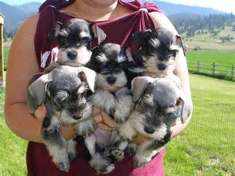 Lots of mini miniature schnauzers So cute!