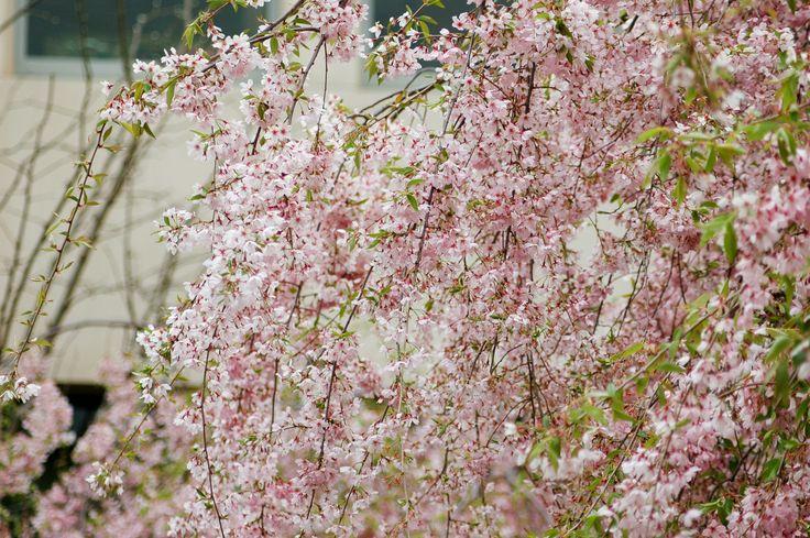 Weeping cherry (Prunus subhirtella 'Pendula') in bloom