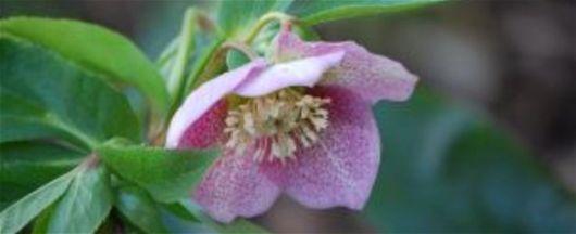 Hellebores - Floare, Iarna, Instrumente Pentru Îngrijit Gradina, Sfaturi Pentru Gradinarit, Stil De Viata
