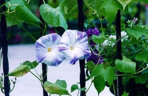 Morning Glory Seeds-Flying Saucers (Ipomoea Purpurea) 25 Flowers Seeds~PERENNIAL