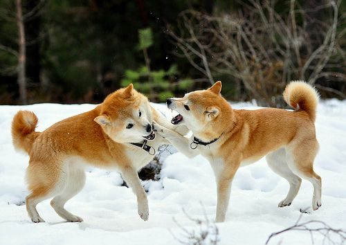 Shiba Inu's waiting for the snow