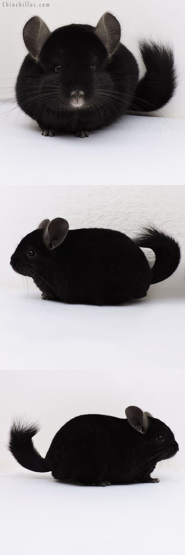 Large Blocky Ebony ( Locken Carrier ) Male Chinchilla