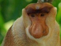Gave ervaring: Wakker worden gemaakt door het geschreeuw van Proboscis en andere apen! Jungle #Kalimantan #Borneo #Indonesië #reizen