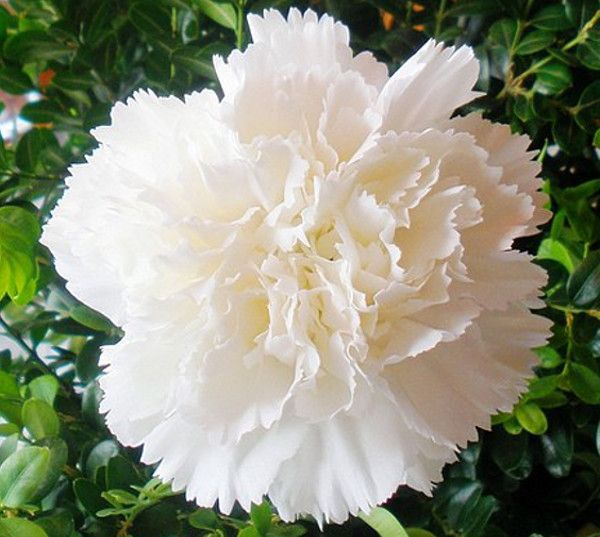 Cravo branco:  Amor puro, ingenuidade, inocência, talento - Flores Jardim