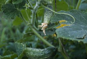 Cultivarea castravetilor este una comuna tuturor gradinilor de legume, poate pentru ca nu exista o salata de vara mai buna decat cea de rosii, castraveti si ardei, sau grozavia uni castravete murat de vara, care