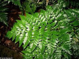 Helecho cuero - Polipodiaceae - Rumohra adiantiformis  #DeCaliSeHablabien