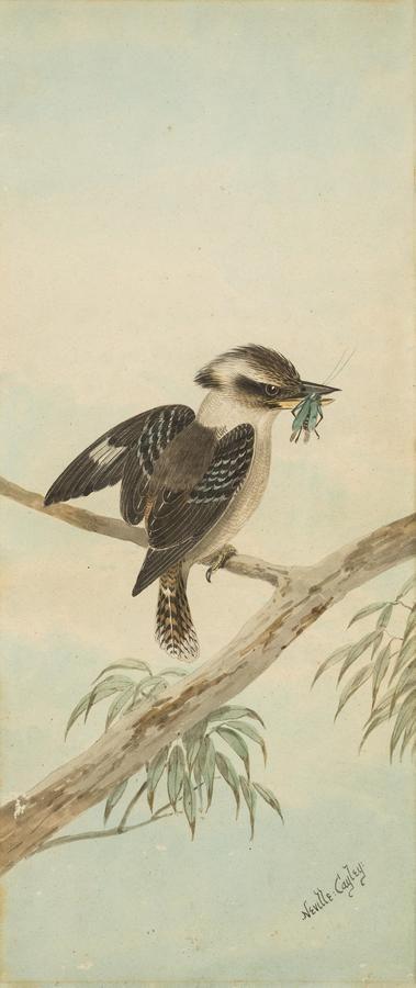 Neville Henry Cayley (Australian 1853-1903), Kookaburra eating grasshopper.