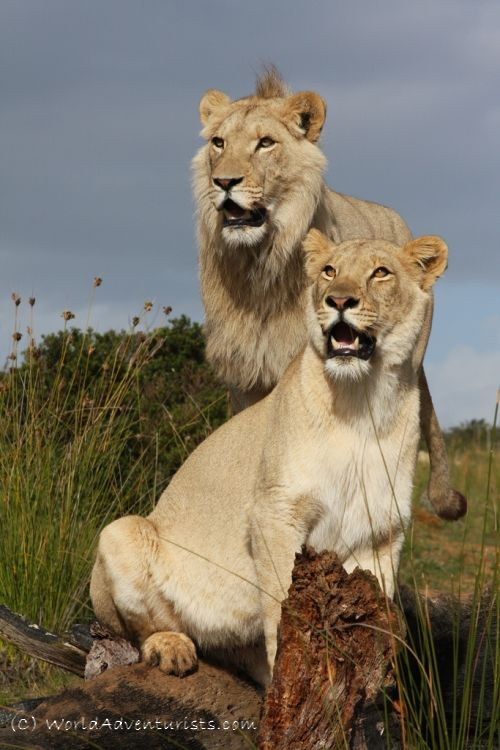 Walking With Lions- South Africa