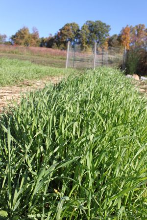 Cover Crop of Annual Rye prevents weeds & erosion