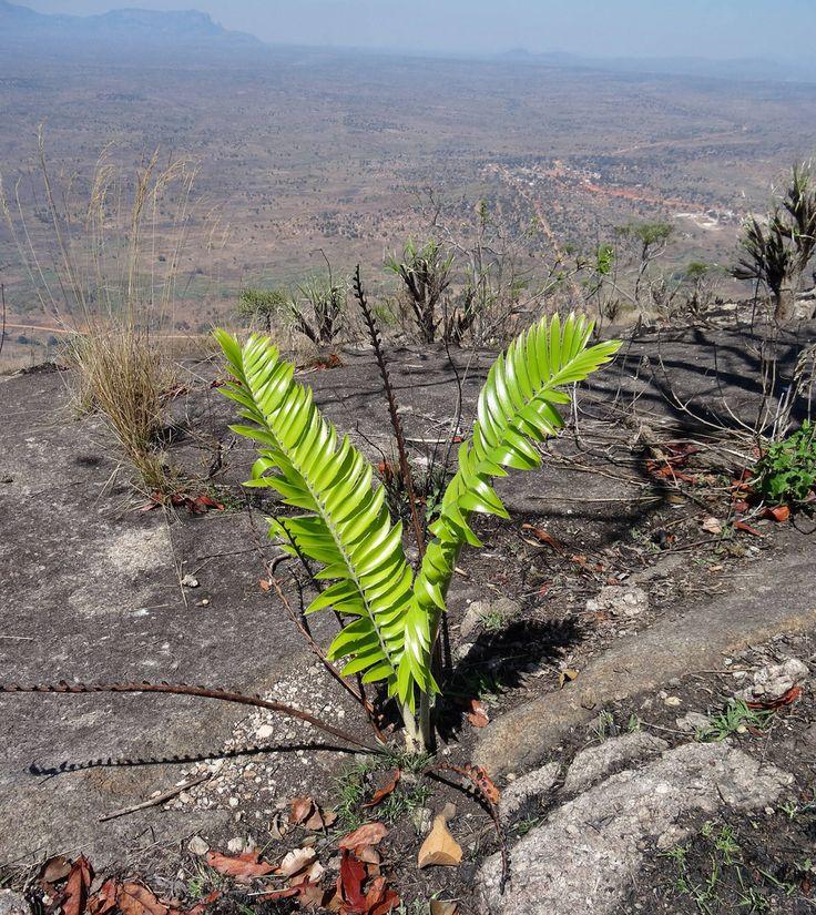 Encephalartos turneri - young plant | von tonrulkens