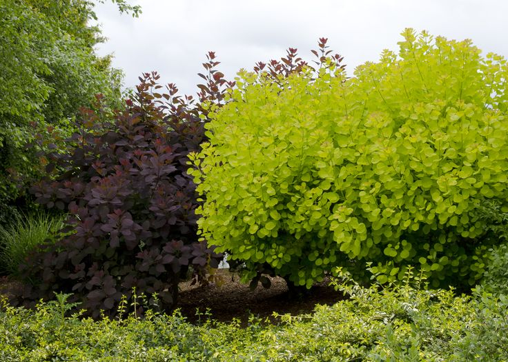 Golden spirit smoke tree love this lime and scarlet for Small bushy trees
