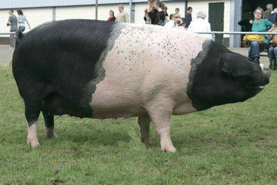 The Hampshire Breed has been developed in the United States of America and is now one of the World's most important breeds.