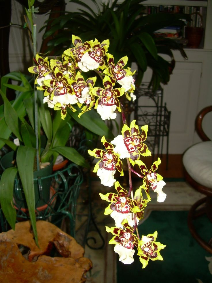 Orchids and Ikebana: Oncidium orchids ( Dancing Lady Orchids)