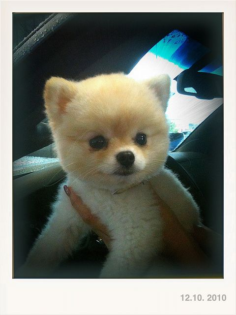 teddy bear pomeranian - Google Search