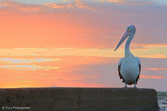 Pelican watching sunrise at Mona Vale beach