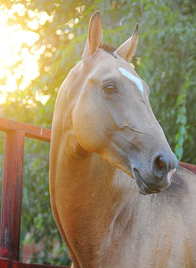 sittinonmyfrontporch: {olgaltina}. This is what Gandolf looked like-a gorgeous Dunn quarter horse.