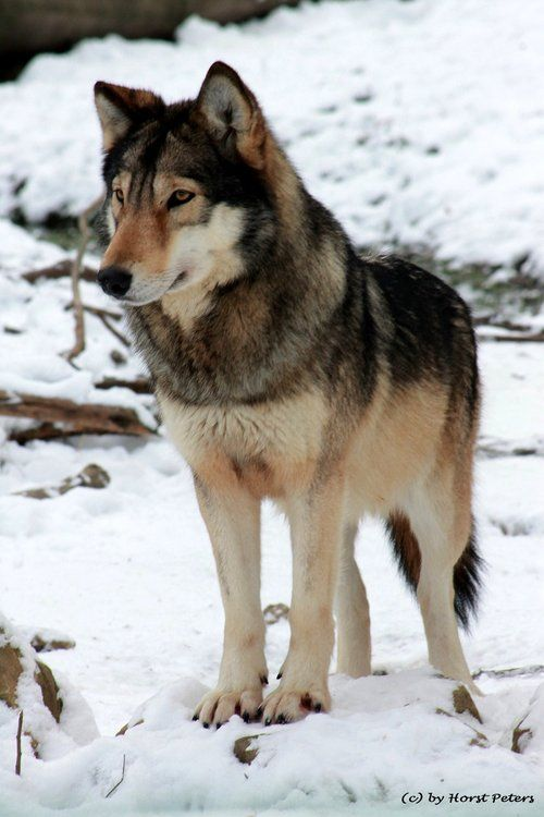 ☀Timber Wolf / Look at the coloring!!!