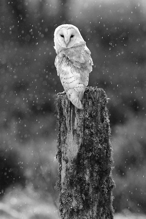 Best 25 White Owls Ideas On Pinterest Owls Snowy Owl