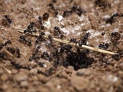 how to get rid of carpenter ants - Borax Ant Killer