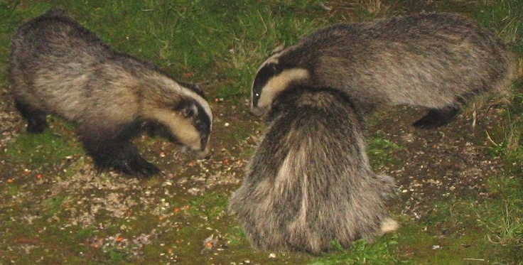 Badger's arse