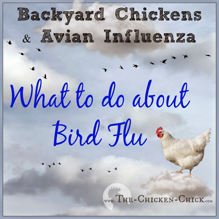 This article is intended to arm backyard chicken keepers with the tools they need to defend against this rapidly-spreading bird flu in North America.