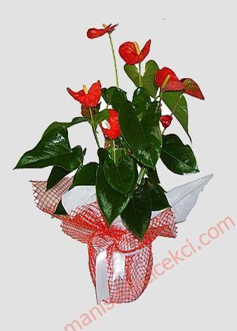 http://manisadacicekci.com/ManisaCicekDetay-Antoryun_Ithal-290 Yeni iş tebrikleri için uygun harika saksı çiçekleri manisa çiçekçinizde