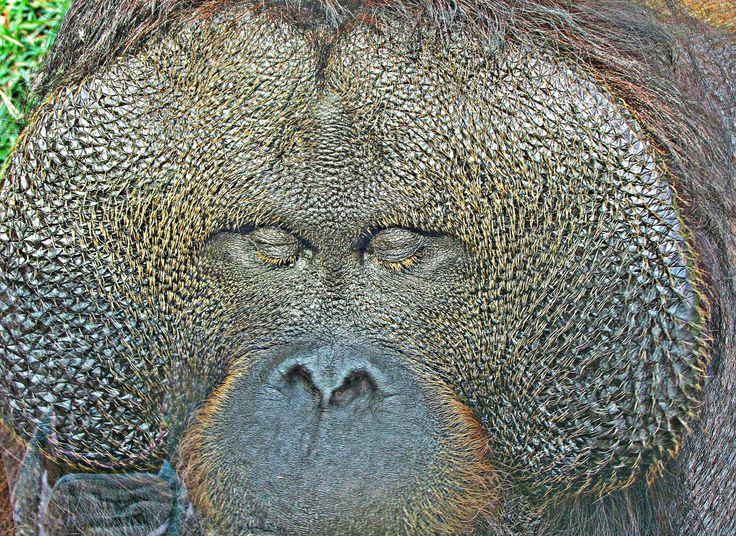 https://flic.kr/p/vHkJ2U   Orangotango Close Up   Zoo de São Paulo