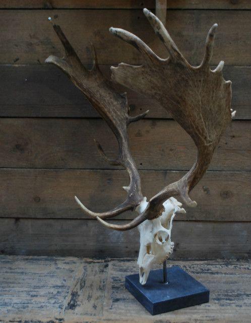 Kapitale damhert geweien met complete schedel. De schedels zijn gemonteerd op een hardstenen sokkel.