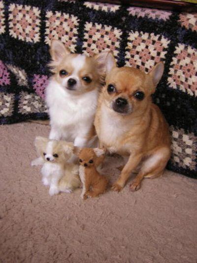 chihuahuas and their dolls.