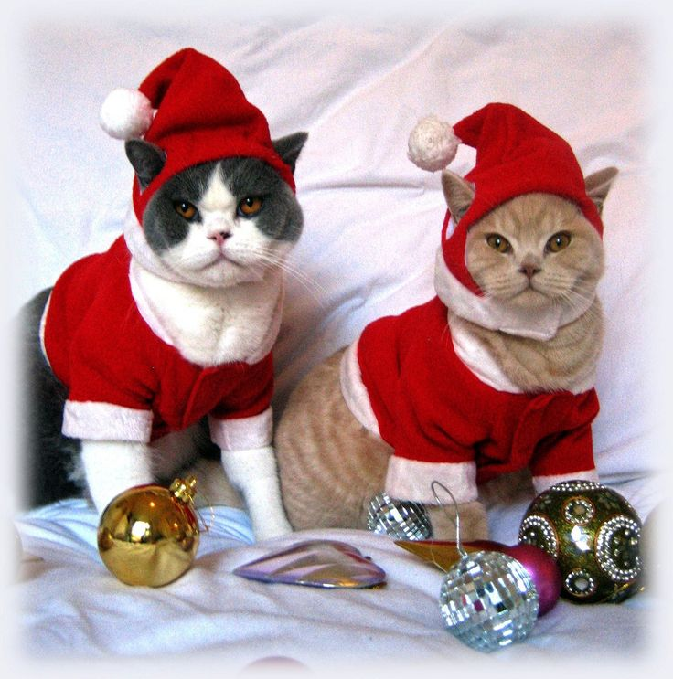 746 best Cat in a hat images on Pinterest | Animals, Christmas ...