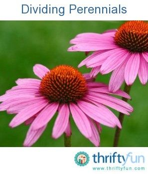 This is a guide about dividing perennials. Growing perennials is like having a plant factory in your own backyard. You will need to periodically divide and transplant these hardy flowers. Done properly this will provide you with a host of new plants.