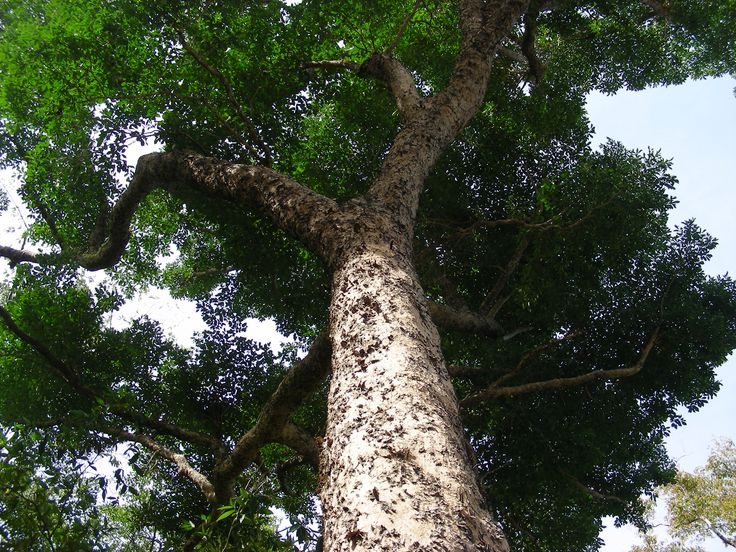 Narra Philippines  city photo : Narra Philippine National Tree | PHILIPPINES PEARL OF THE ORIENT SEAS ...