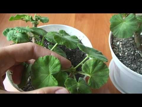Прищипка пеларгонии. Формировка пеларгоний. Как формировать растения для кустистости. - YouTube